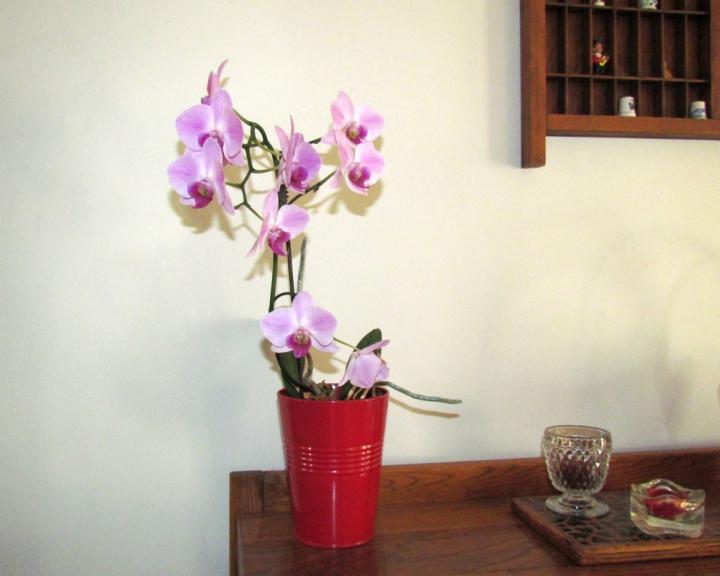 serviis_Moth Orchid