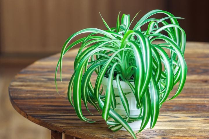 serviis_Spider Plant